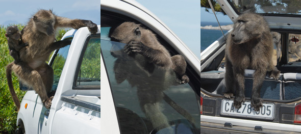 Baboons associate cars with food.