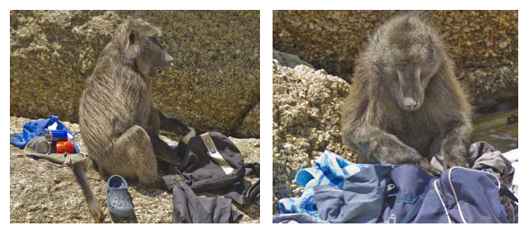 Baboons commandeer bags and rummage through contents looking for food.