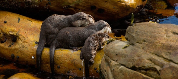 Otters come to chill