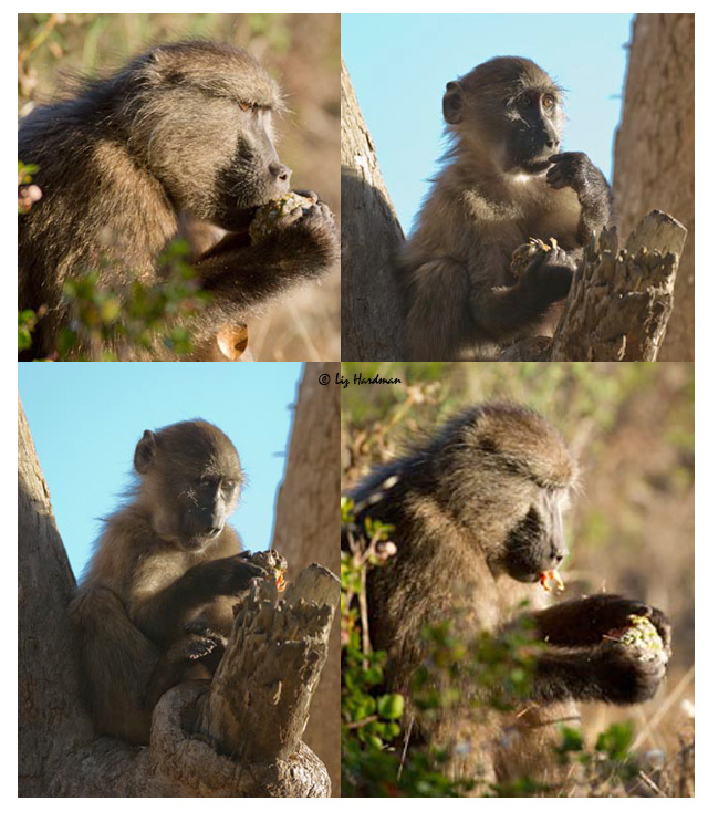 Baboons feast on pine cones.