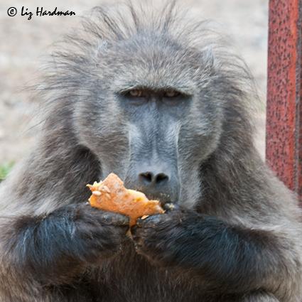 Baoons love melon.