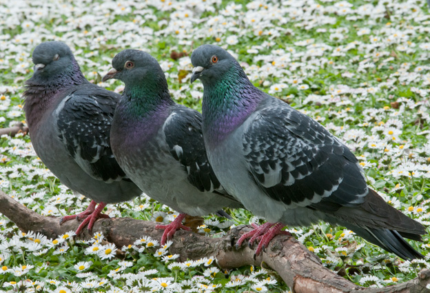 Pigeons in fine feather!