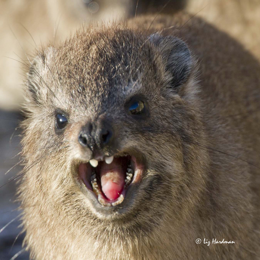 Rock Hyrax, a relative of the Elephant! | Nature on the Edge