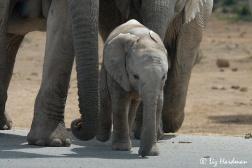 Elephant-toes