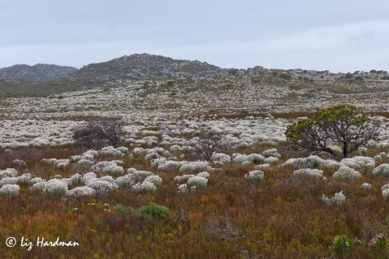 Cape-Snow, Syncarpha vestita