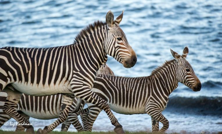 Cape Mountain zebra, Buffels Bay.