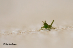 Grasshopper-hatch_03