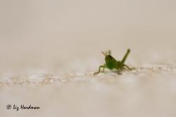 Grasshopper-hatch_03