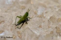 Grasshopper_super-hatch