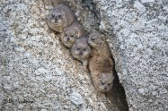November: Dassie nursery, new brood.