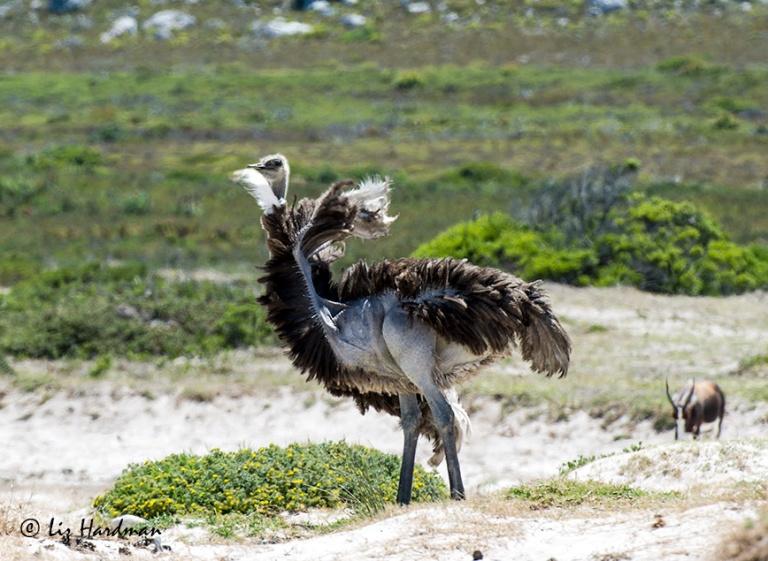 Seeking-the-breeze_ruffling-feathers