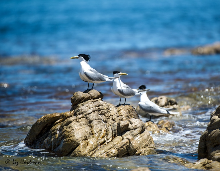 Swift-terns,-ruffled-feathers