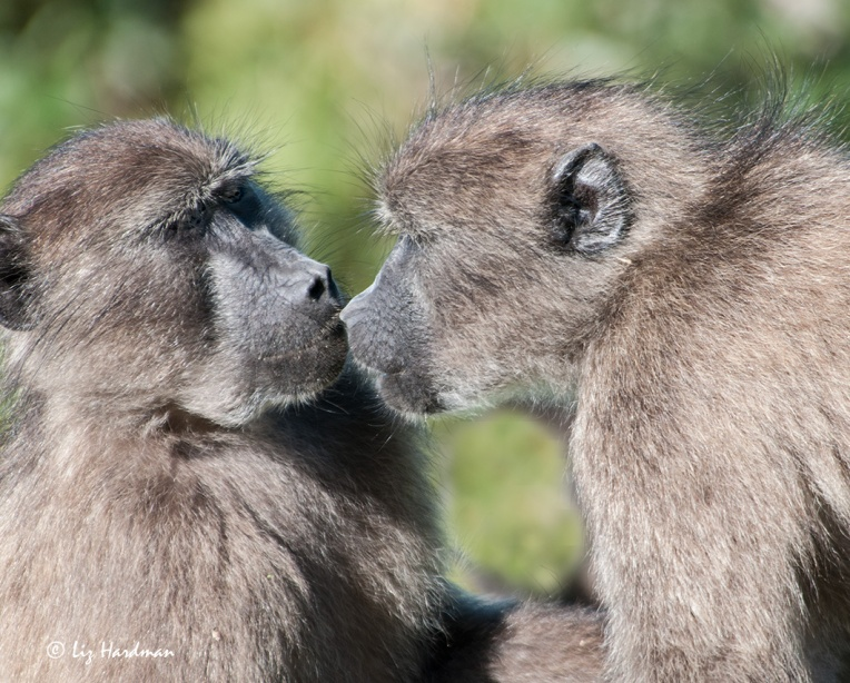 Baboon-greeting_01