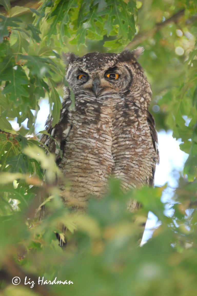 The parent bird casting a watchful eye over the youngster.  Note the orange eyes and the heavier barring on the chest which distinguishes it from the Spotted Eagle Owl.