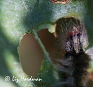 Knot grass caterpillar