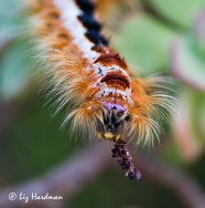 Cape Lappet caterpillar