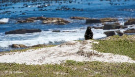 Female watches intently before rushing at couple walking along the beach path with their picnic.