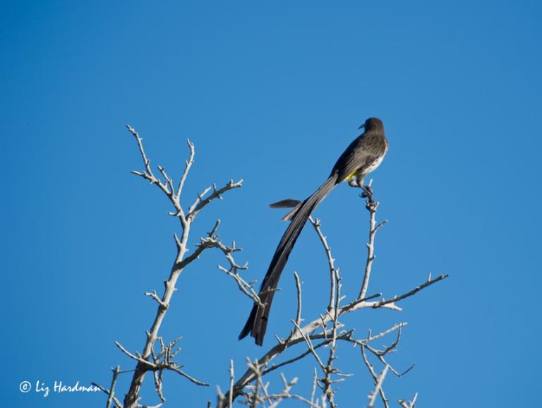 04_Sugarbird-on-bug-watch