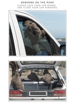 Baboons raid cars, when motorists are careless.