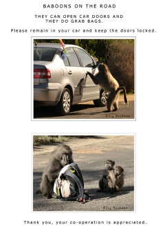 Baboons are attracted to cars, and bags in the hope they'll find food.