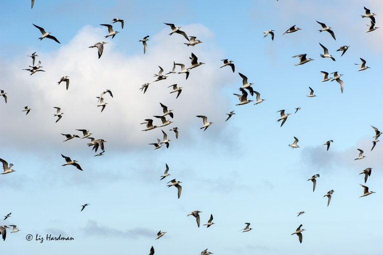 Swift-terns_01