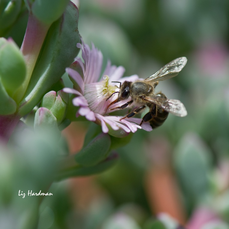 Bee-pollination