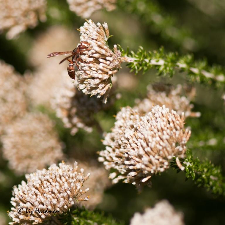 Stocking up on nectar.