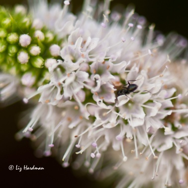 Mint-flower-and-pollinator
