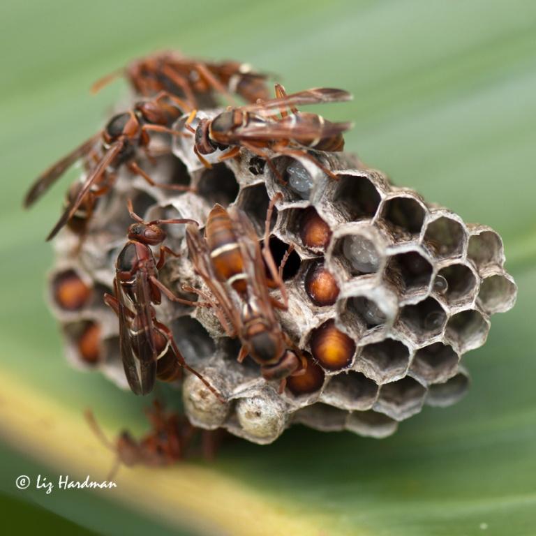 Tending the eggs, pupae growing.