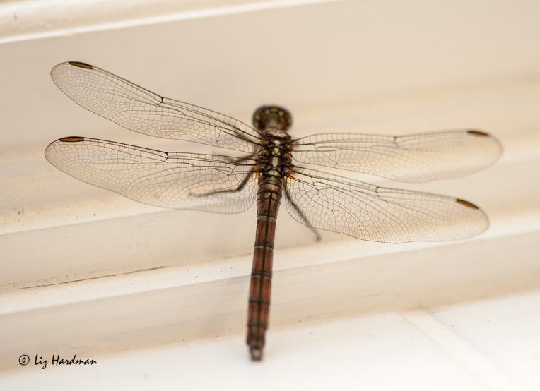 The-perfection-of-a-dragonfly