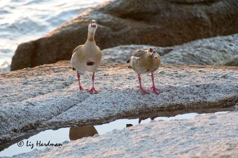 The Egyptian geese lose no time in getting going at first light.