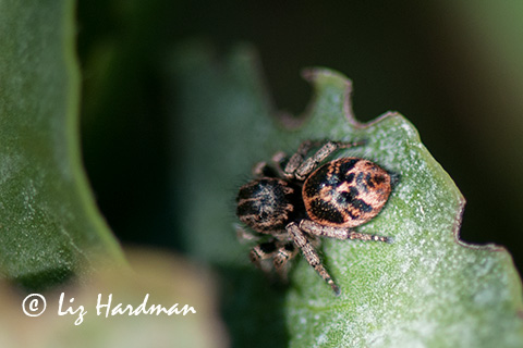 The acrobat, Salticidae - the Jumping Spider.