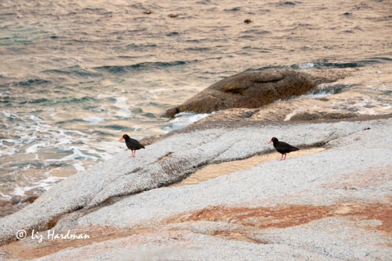 The oyster catchers have a distinctive call,  a 'beebah' siren call.