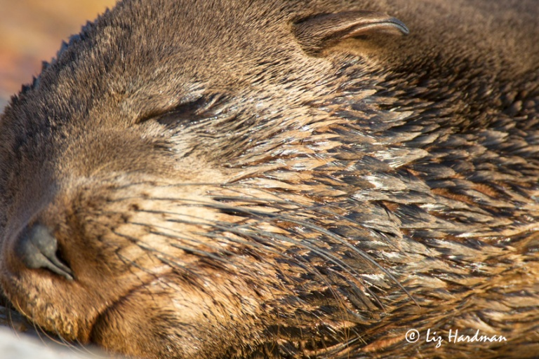 Cape fur seals pups are weaned by nine months, but remain vulnerable at this young age.