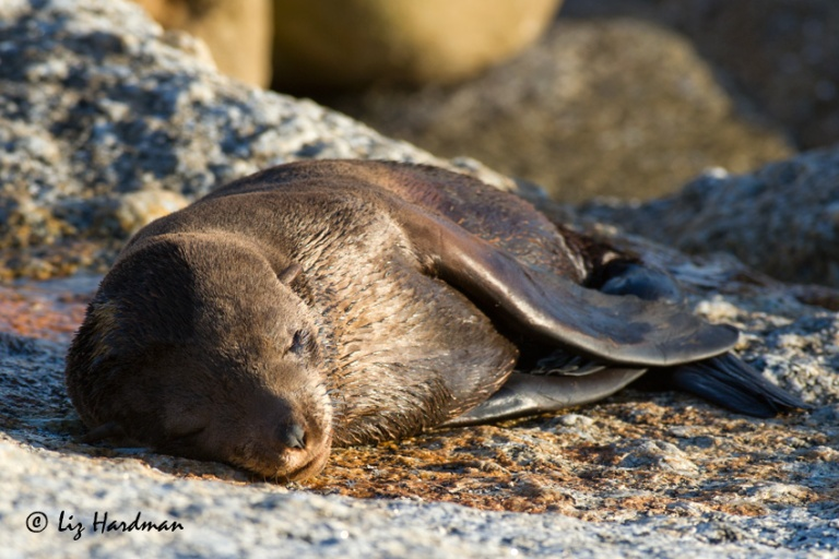 An exhausted seal pup takes a nap.