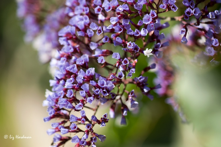 The papery bracts of lilac statice.