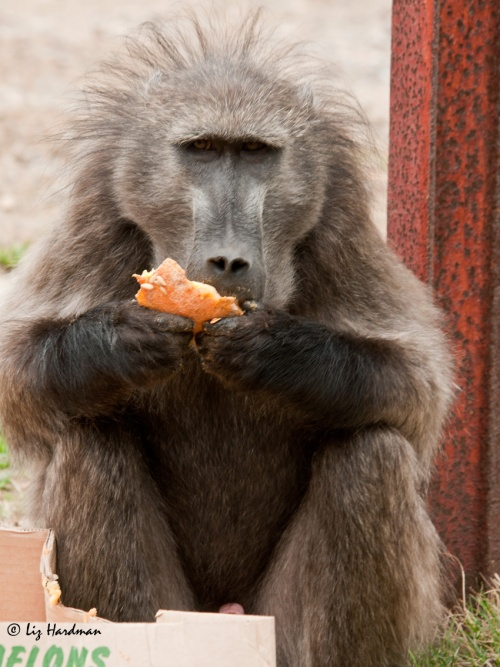 Manuel was a magnificent baboon, he was euthanised last week, May 2013.