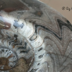 240 million years in the making, the exquisite detail of a polished ammonite fossil.