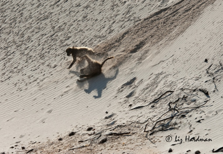 Baboons-cartwheeling-on-sanddune.