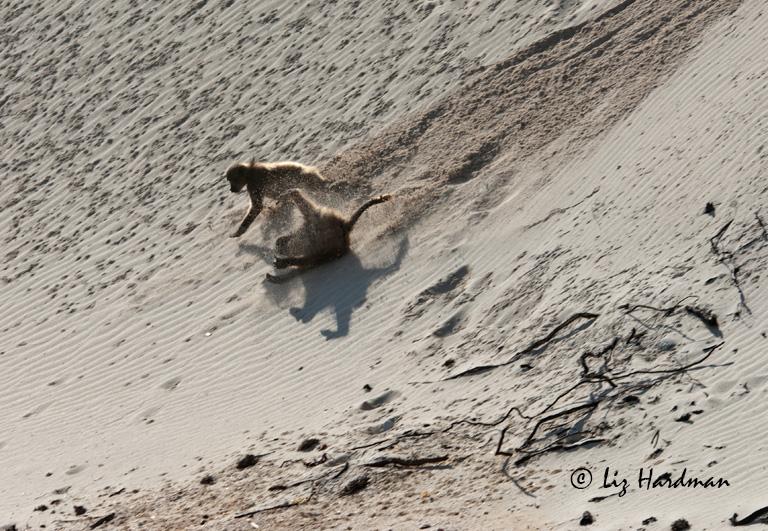 Baboons-cartwheeling-on-sanddune.