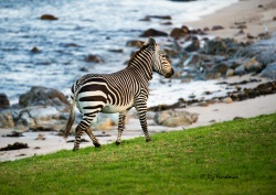 Each zebra has it's own particular stripe design. I admire the way the pattern down the backbone to the tail merge.