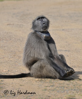 Force, was one of the first baboons to be fitted with a GPS collar. Photo taken in 2009, when he almost an adult.