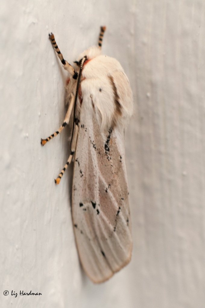 Tricoloured tiger moth