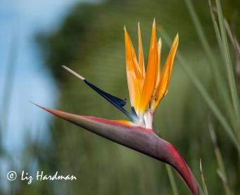 Crane-flower