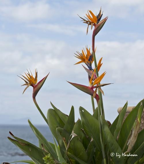 Crane flowers