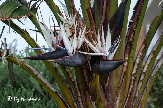 Tree-Strelizia-flowers