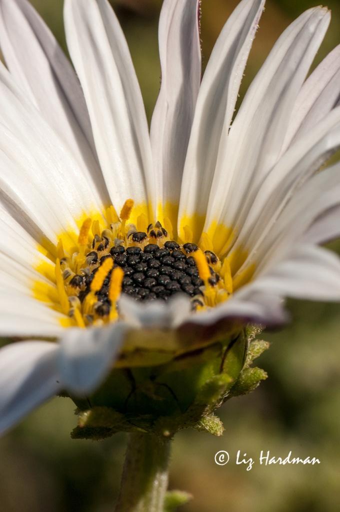 As-fresh-as-a-daisy.