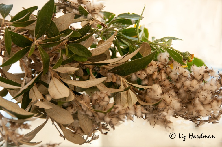 Tarchonanthus-Littoralis---Coastal-Camphor-Tree