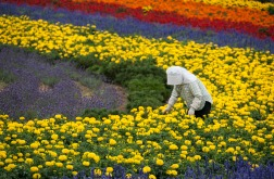Furano flower fields