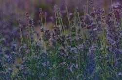 Lavender deconstructed_8728